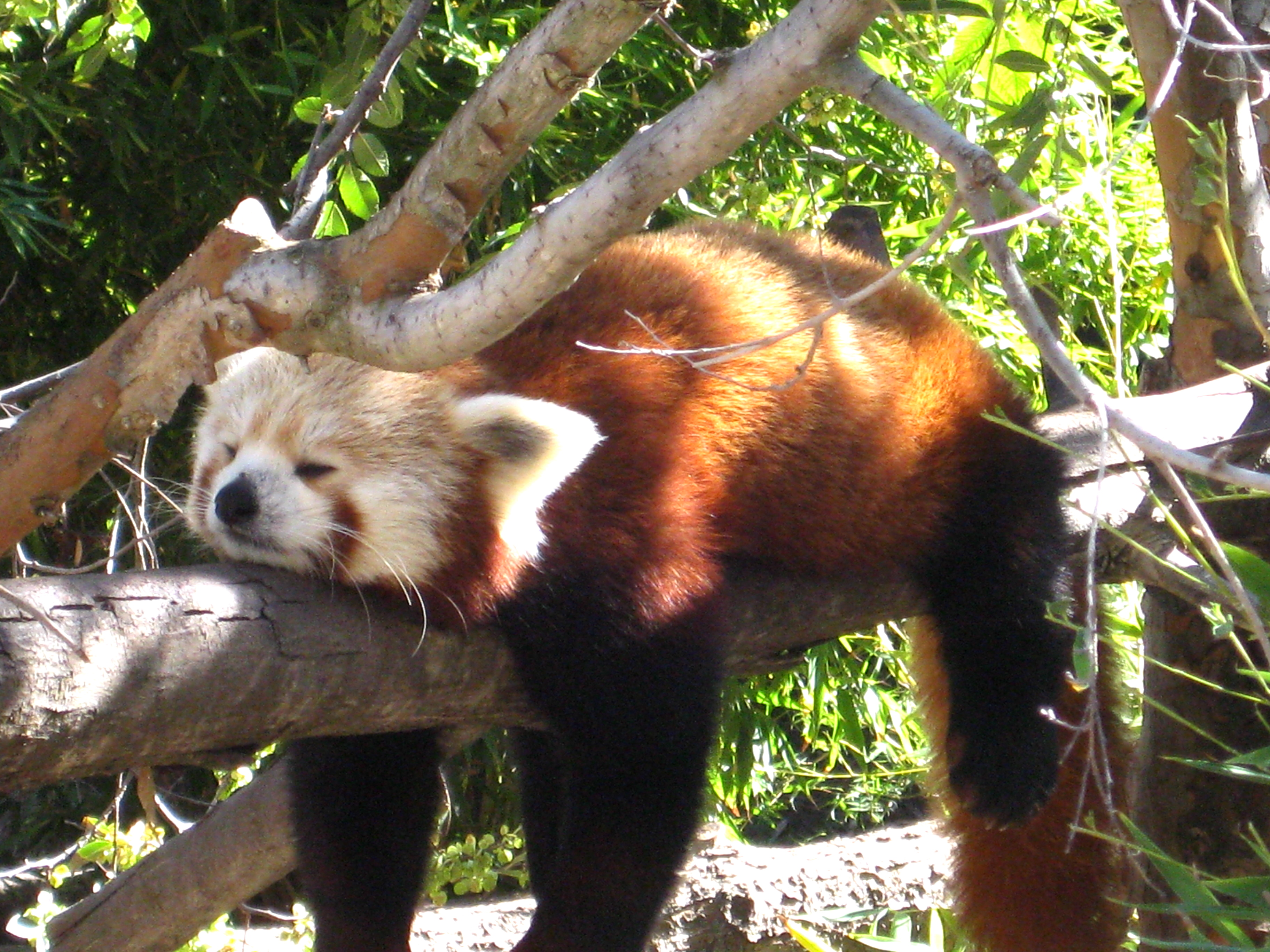 A red panda's stress-reduction technique